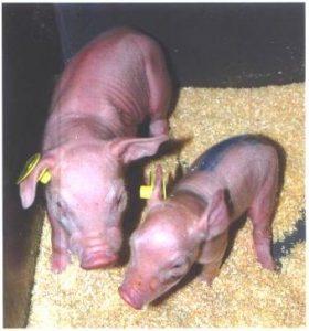 Portée de jeunes porcelets à la naissance - idena - alimentation elevage porc